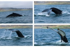 Humpback Whale spotting in North Iceland