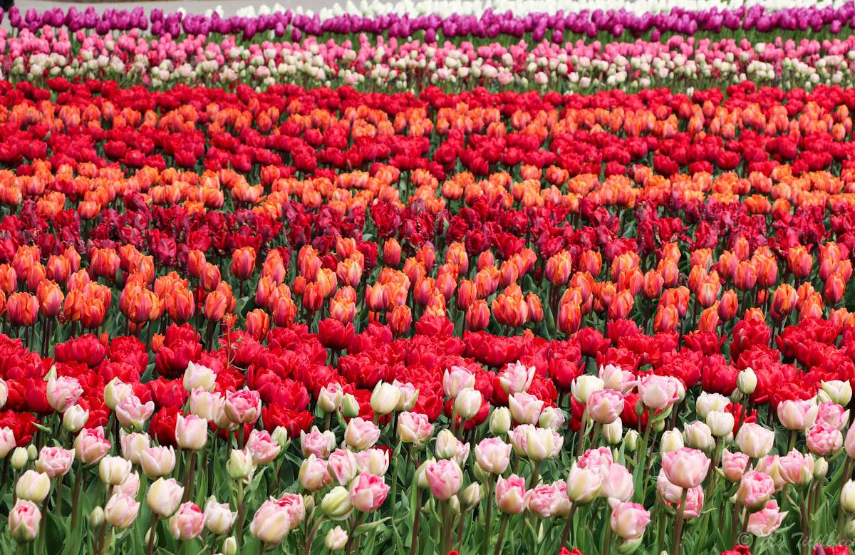 Tulip Variety In Holland My Ticklefeet